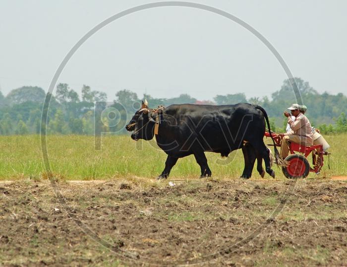Men on a bullock cart in the fields