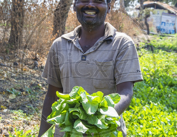 A Farmer Holding The Fresh Bunch of Green Spinach Leaves in an Agricultural Farm