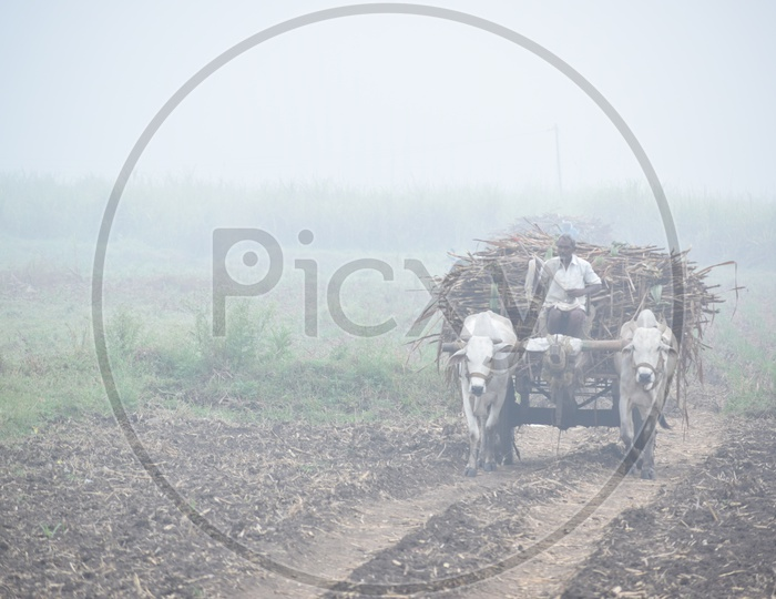 A Farmer  Carrying The Fresh Load Of Sugar Cane Yield On a Bullock Cart  in Rural Village Agricultural Fields