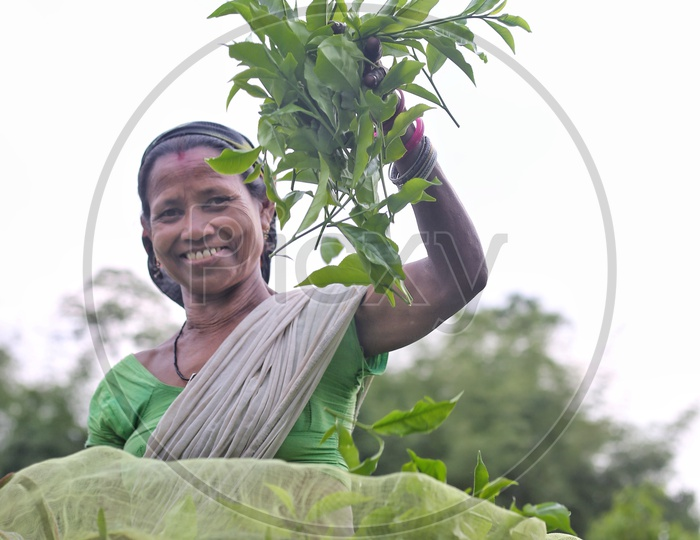 A Tea Plantation Woman Worker With Freshly Plucked Green Tea Leaves in Hand In A Tea Plantation