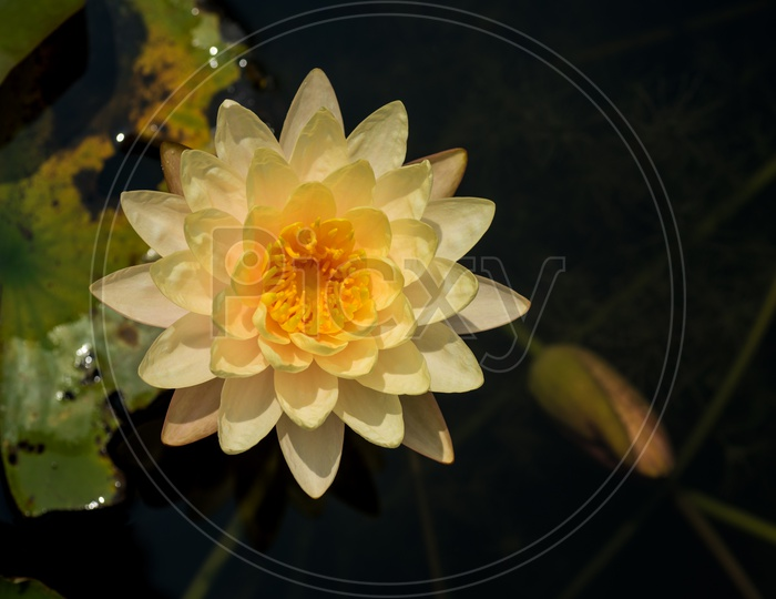 Freshly Blooming Golden Yellow Color  Lotus Flower  In a Pond