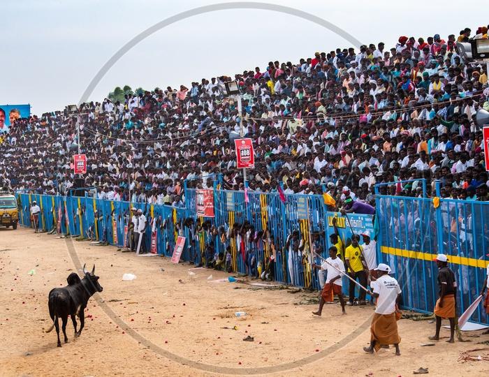 Berserk Bull Released Into  Crowd at Jallikattu In Tamilnadu