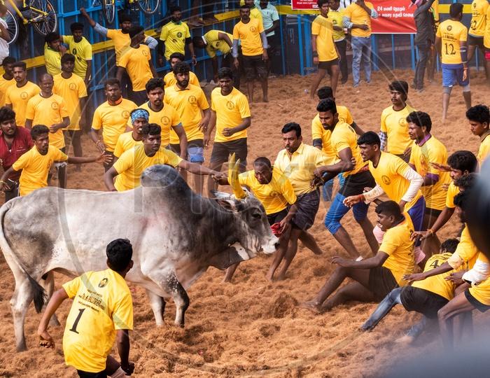 Jallikattu  Or Bull Taming Sport In Tamilnadu