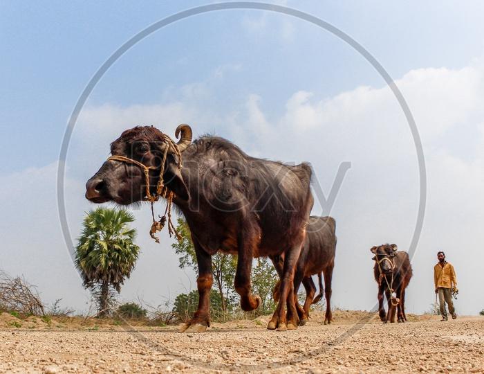 buffaloes herd