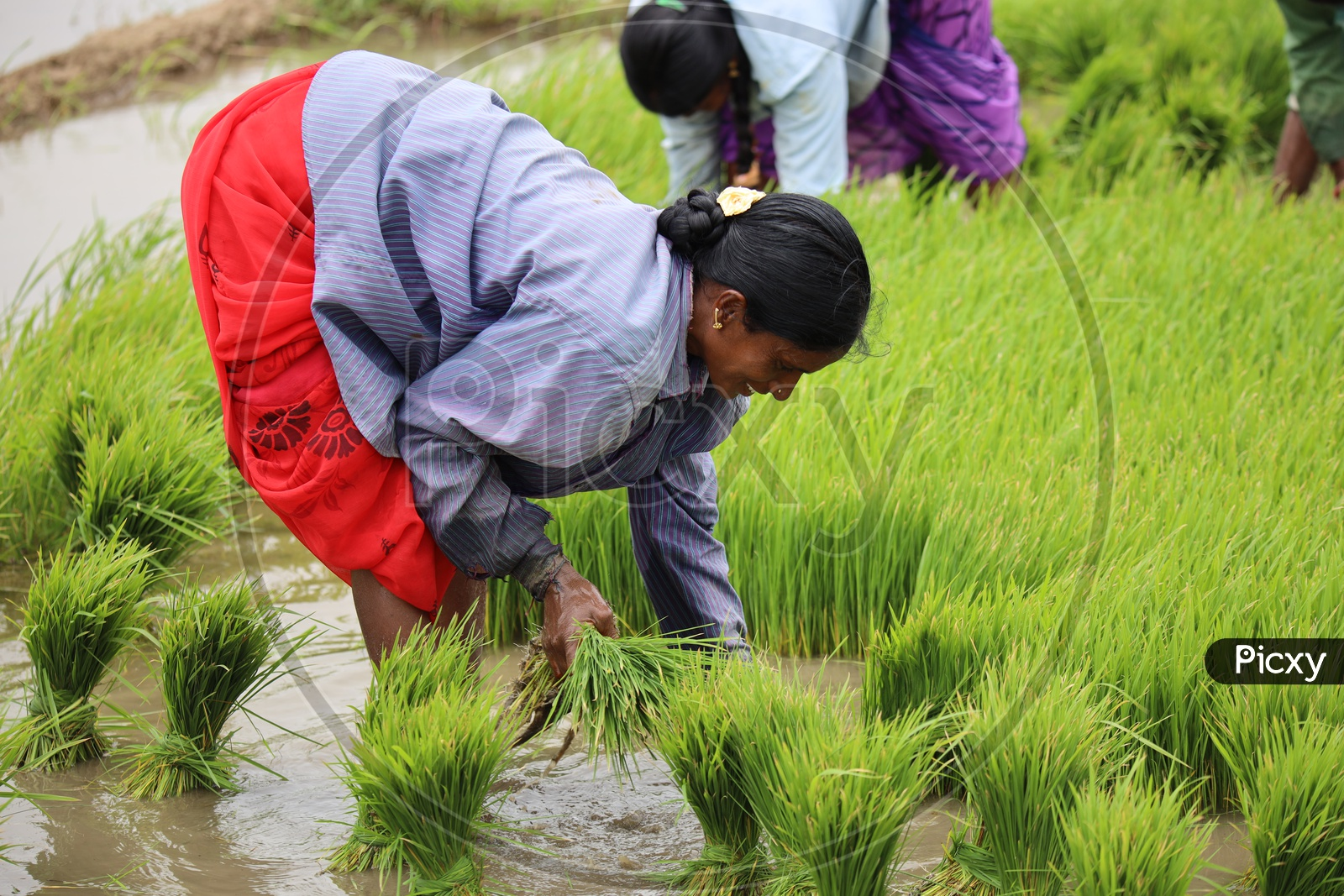 Woman Farmers Planting Paddy Plant Saplings in Agricultural Fields