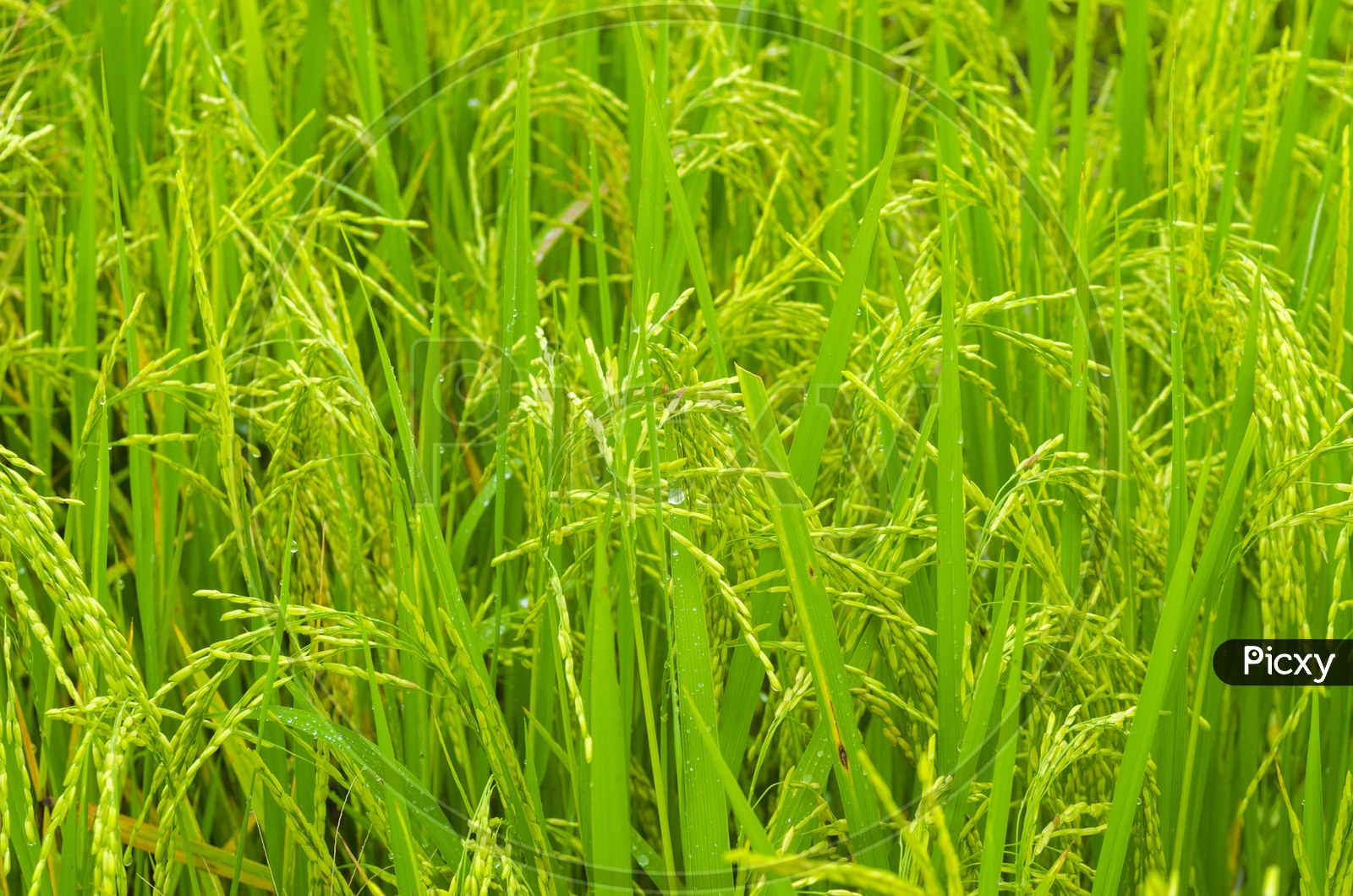 Close up of rice paddy field