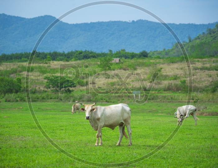 White Cow Grazing in Green Terrains