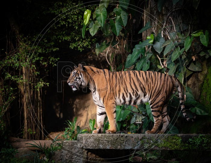 A Bengal Tiger standing in a Zoo
