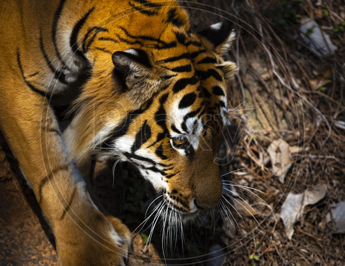 Bengal Or Asian tiger is walking carefully. in A Zoo