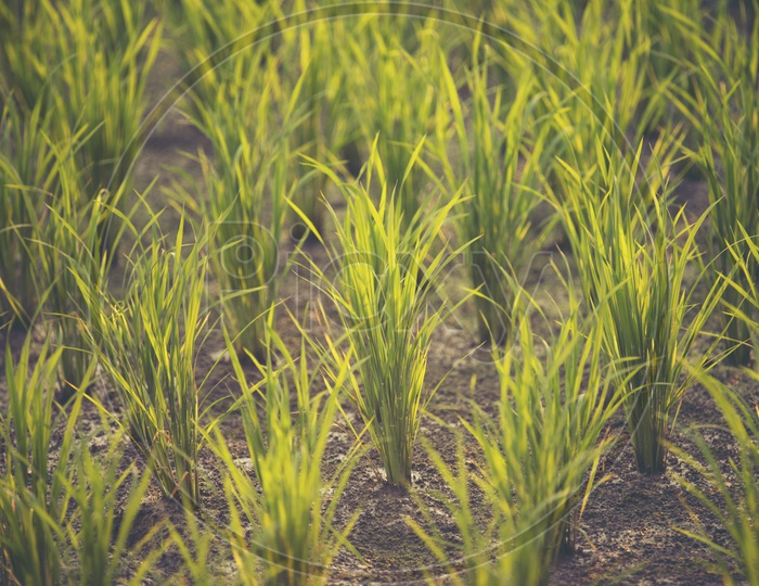 Paddy Or Rice Fields With Paddy Saplings