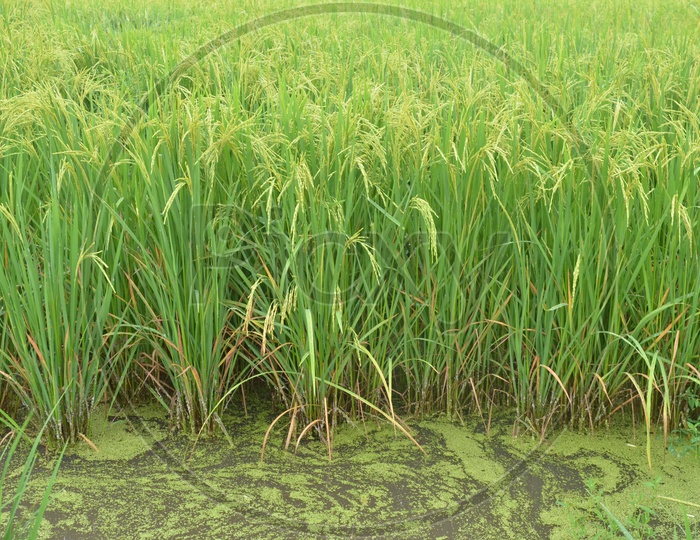 Rice Ears or Rice Spikelet  in Paddy Fields