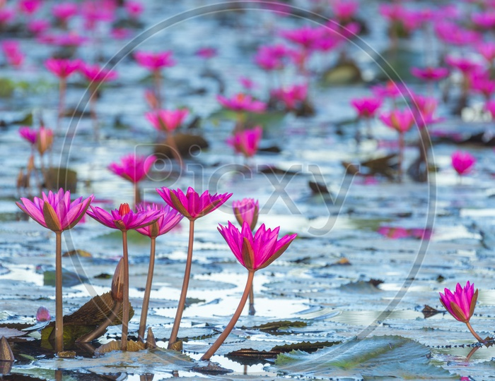 Close up of pink lotus flowers in the pond vintage filter