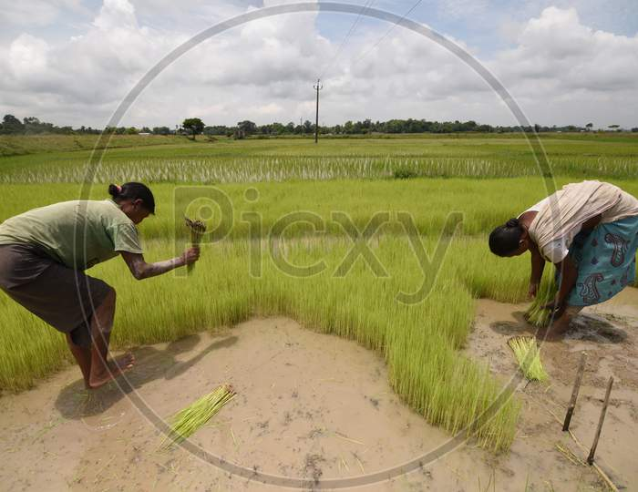 Farmers Planting Paddy Saplings in Agricultural Fields