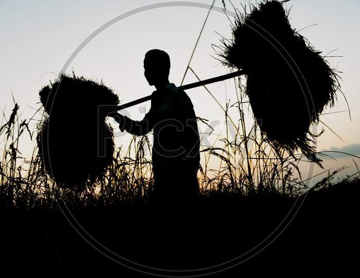Silhouette  Farmer Carries His Harvested Paddy During Sunset, At Saderi Village In Barpeta District Of Assam