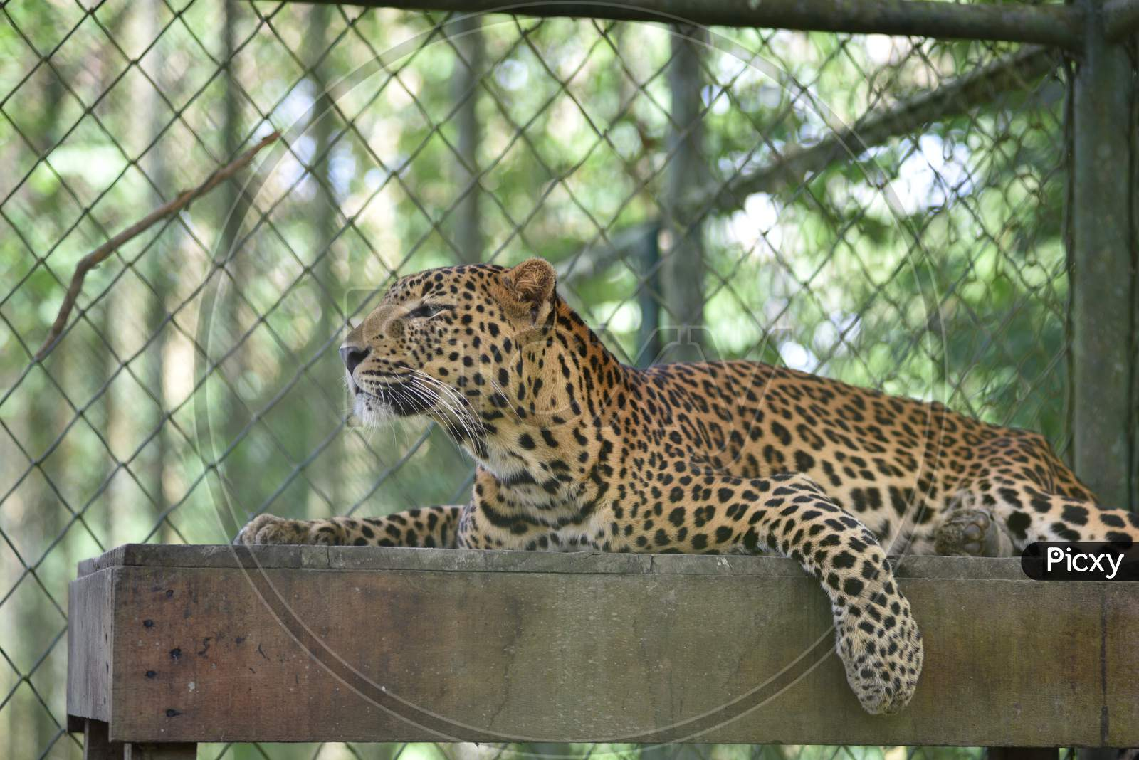 Leopard In Kaziranga National Park, Assam