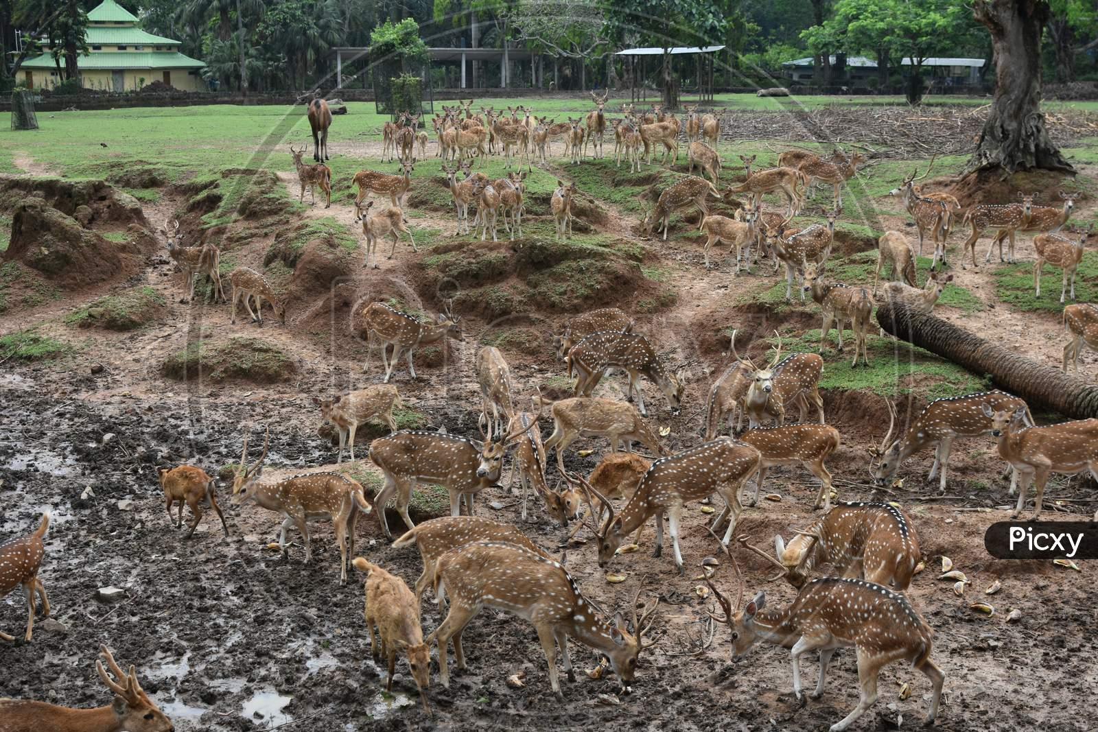 Horned Deer In Kaziranga National Park, Assam