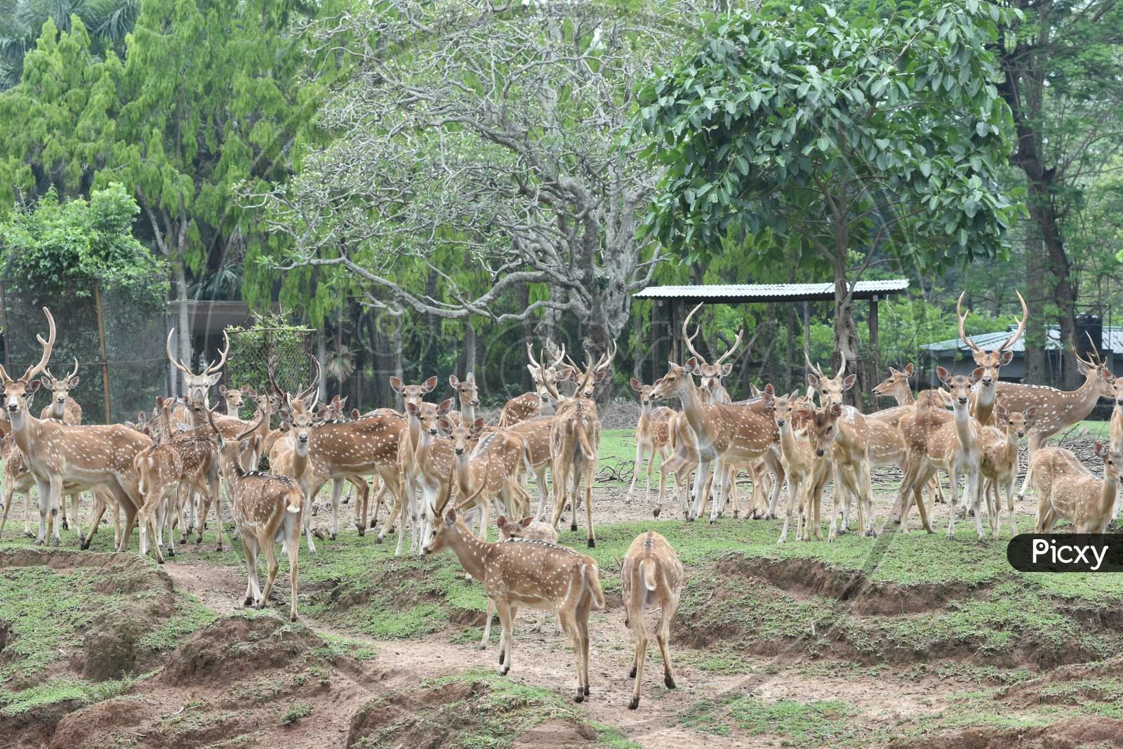 Horned Wild Deer In Kaziranga National Park, Assam