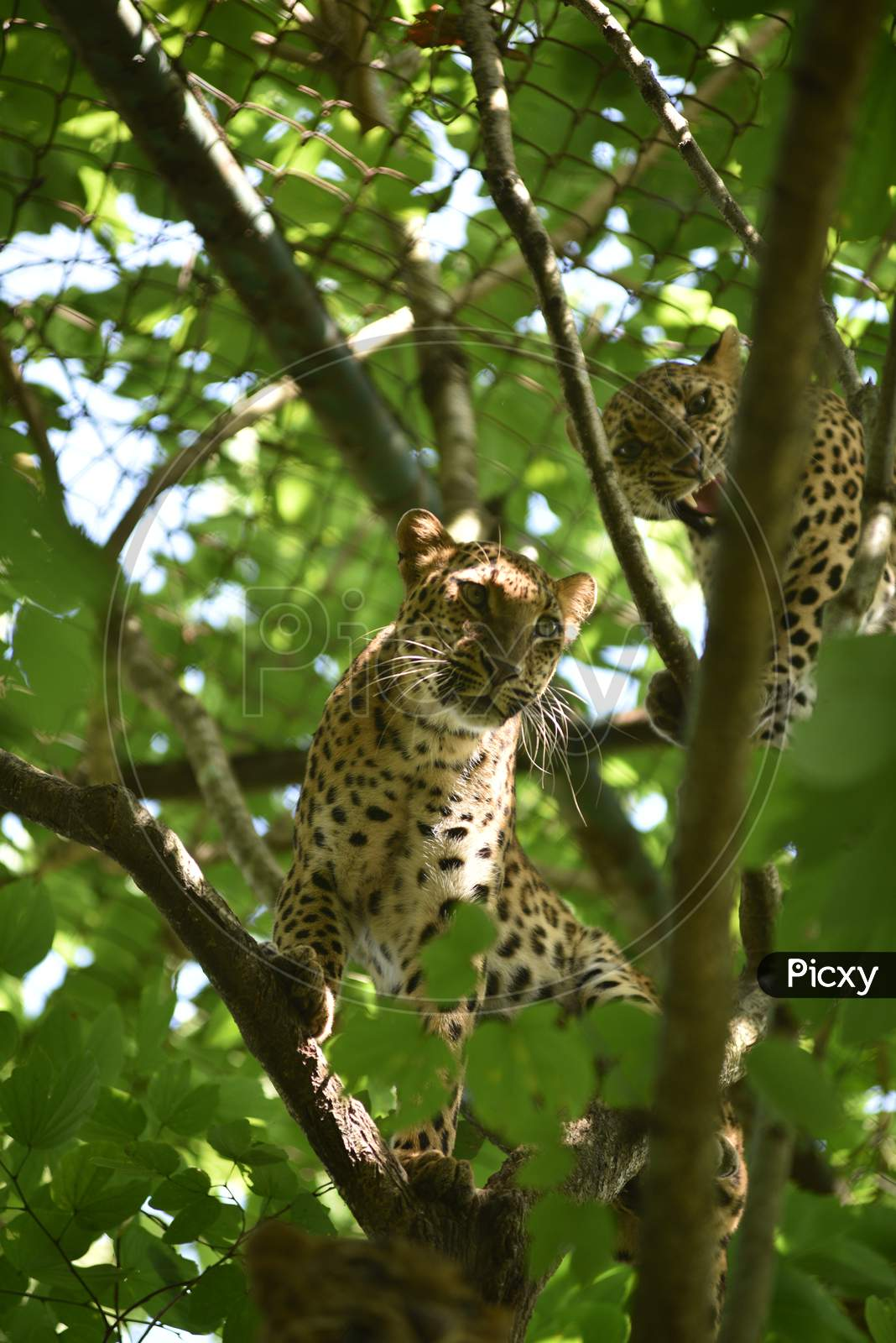 Leopard  Cubs On Trees In Kaziranga National Park , Assam