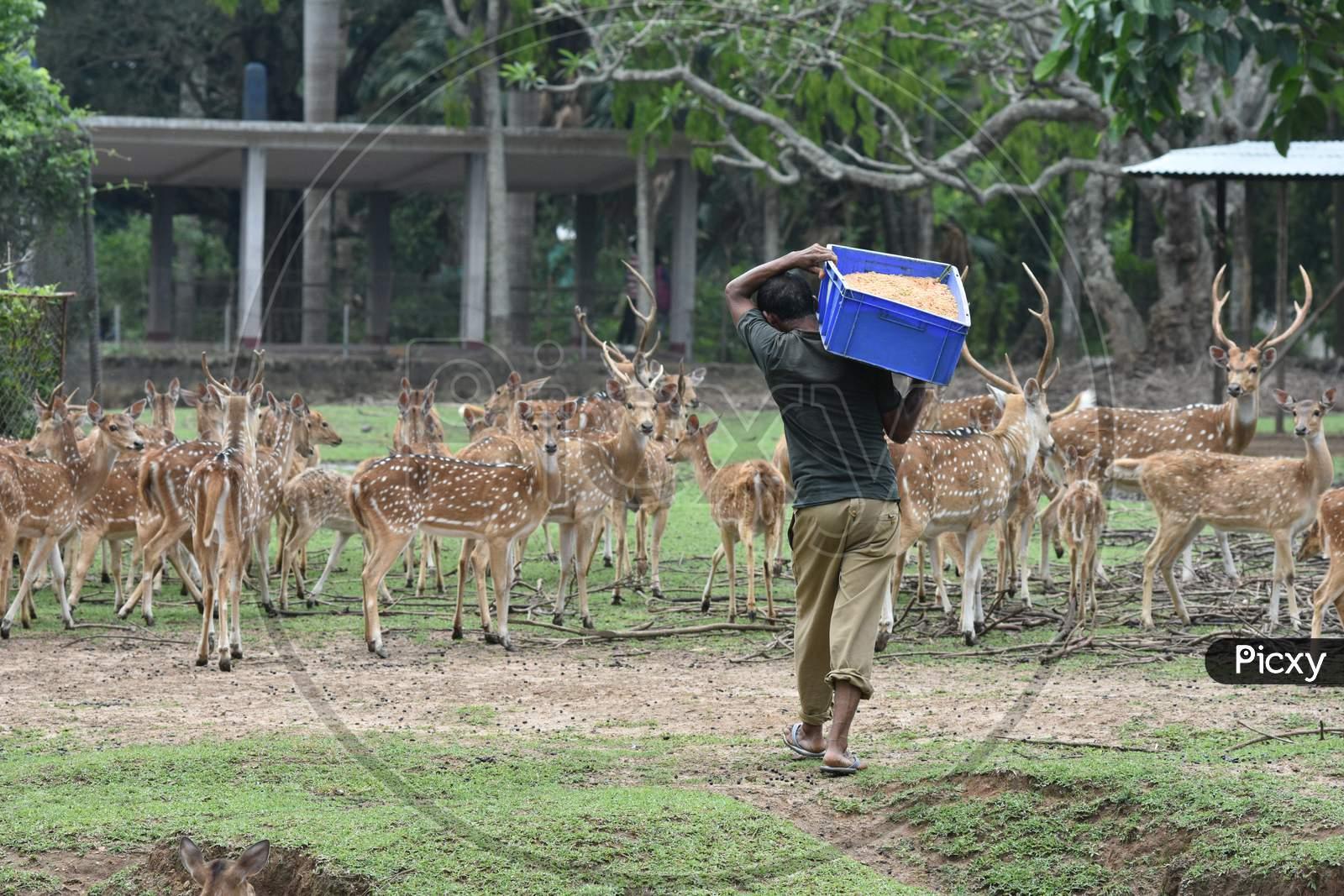 Caretaker Feeding Horned Wild Deer In Kaziranga National Park, Assam