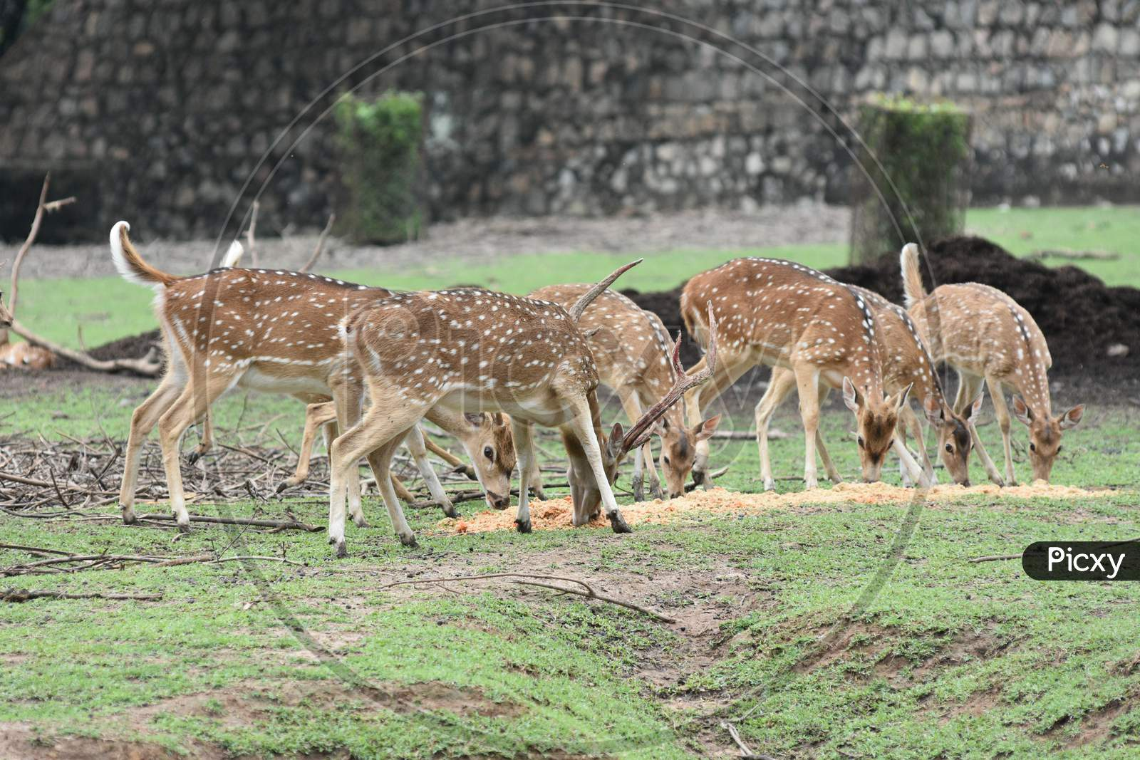 Horned Wild Deer In Kaziranga National Park, Assam