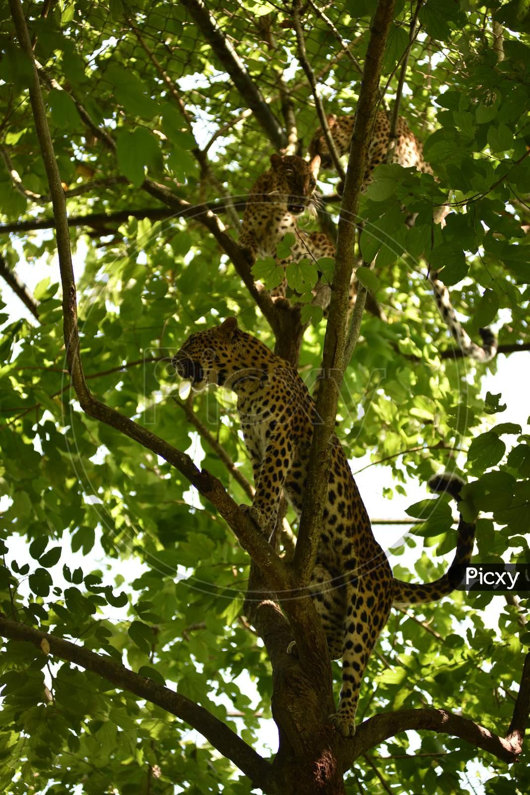 Leopard  Cubs on Trees In Kaziranga National Park , Assam