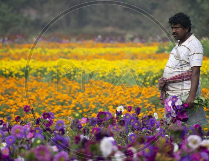 Khirai Midnapore, West Bengal, India - 11Th October 2020 : A Farmer Working In Flower Field And Collecting Flowers