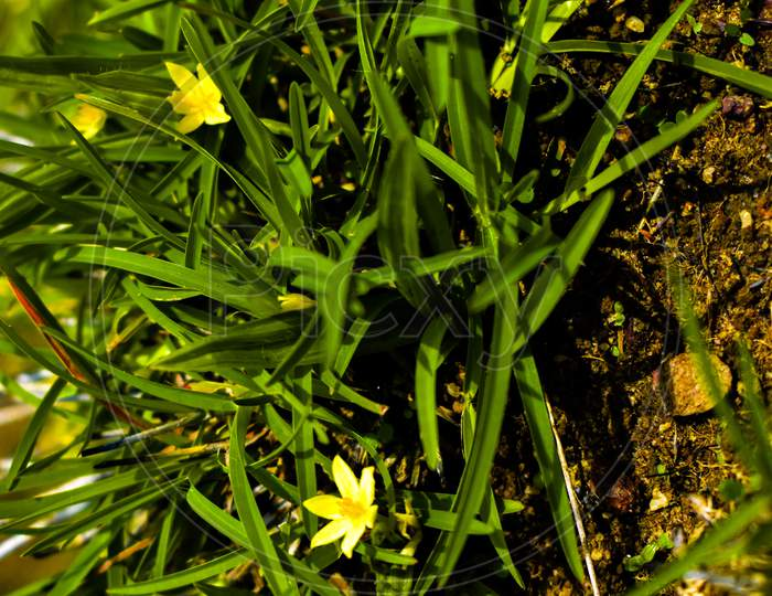 Water Star Grass Yellow Colored Flowers In Focus Or Grass Leaf Mud Plantain