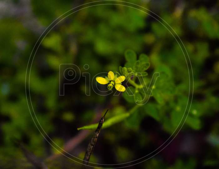 Lotus Japonicus Flower In Yellow Color With Green Leaves All Around
