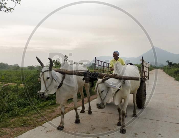 Farmer returning from Agriculture fields on bullock cart.