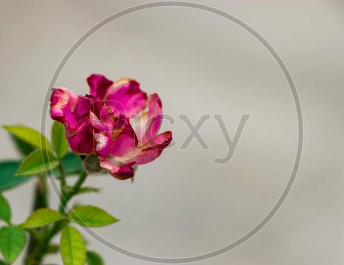 A picture of a rose with a selective focus.