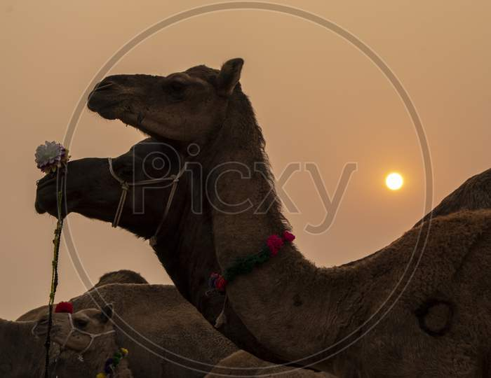 Two camels standing side by side in Pushkar Fair
