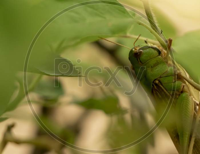 Grasshopper talking camouflage in green leaves
