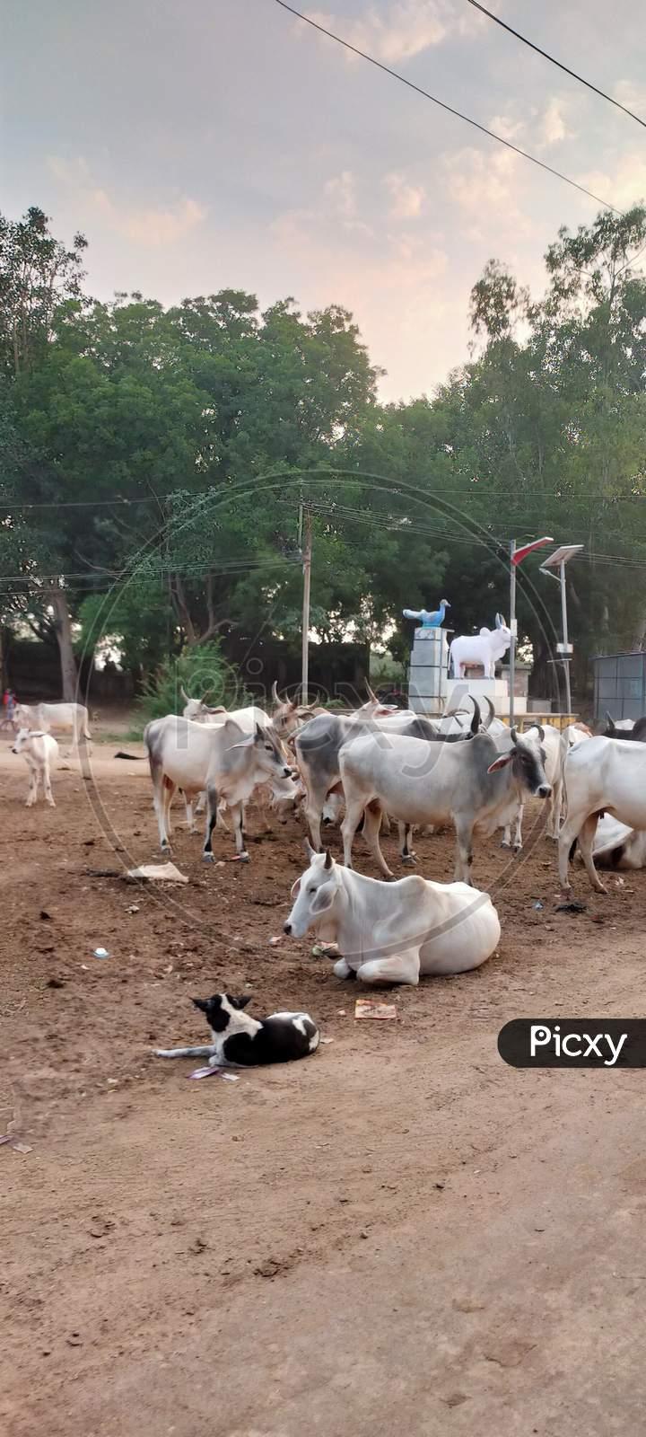 The herd of cows in village in Rajasthan