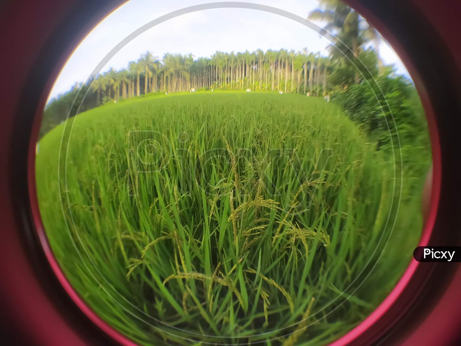 Closeup Of Paddy Field Focus On The Middle