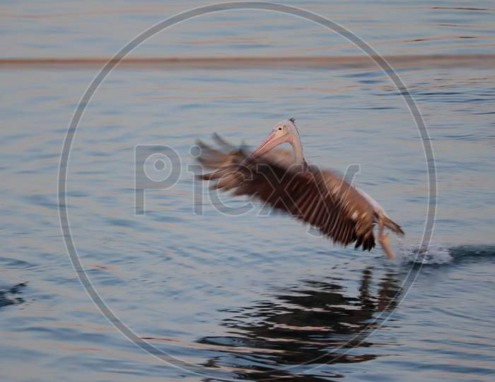 A Pelican Bird Flying Through The Lake Water With Wings Spreading Motion Blur