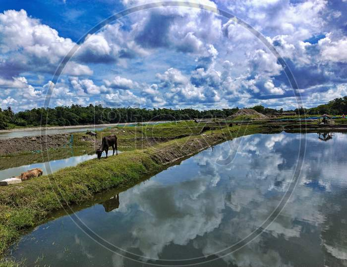 beautiful monsoon blue sky, cow eating grass, sky reflection on water
