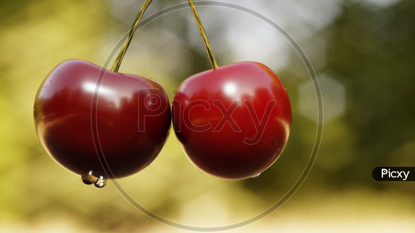 Closeup Of Fresh Two Cherries Hanging On A Cherry Tree Branch With Water Droplets On Cherries After Rain