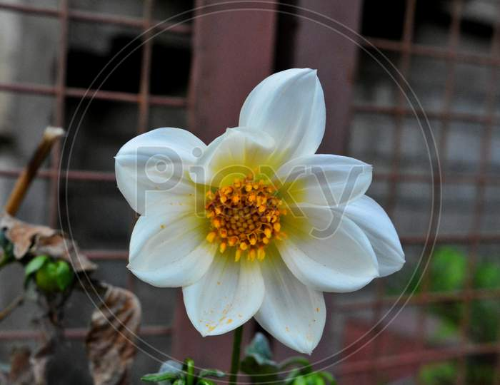 White flower with yellow anther