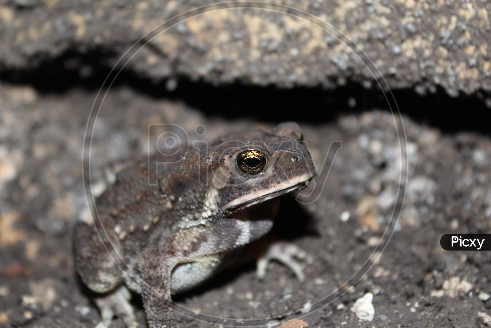 Duttaphrynus Melanostictus Is Commonly Called Asian Common Toad, Asian Black - Spined Toad,