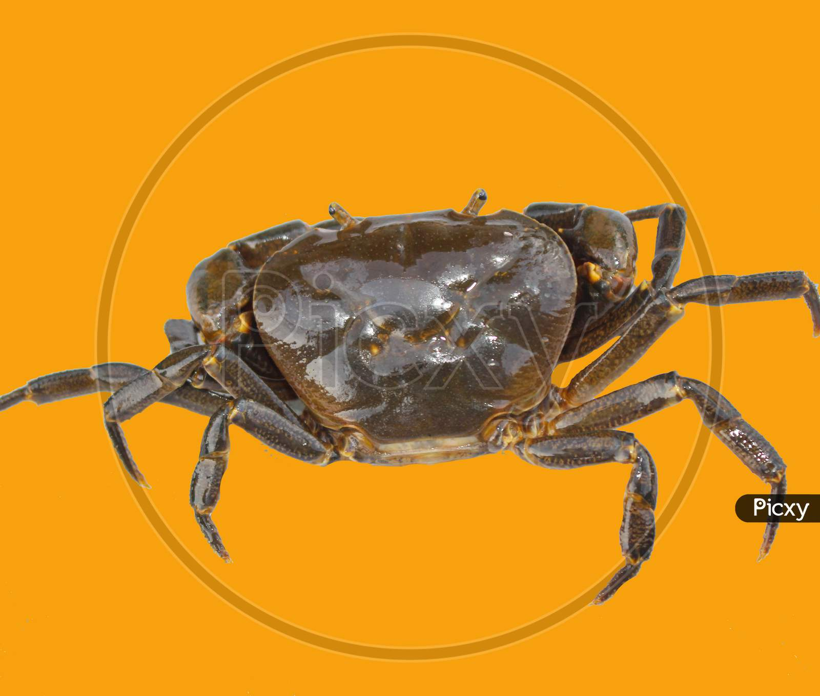 Freshwater Crab Isolated On Yellow Background