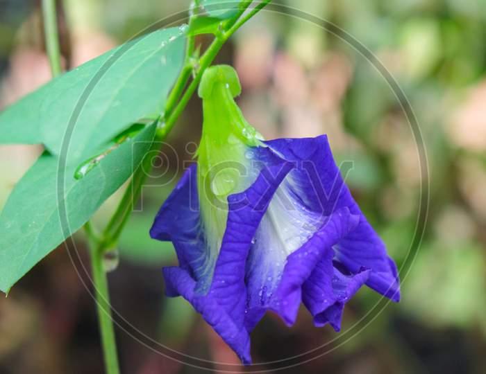 Clitoria ternatea flower,Butterfly pea purple flower image