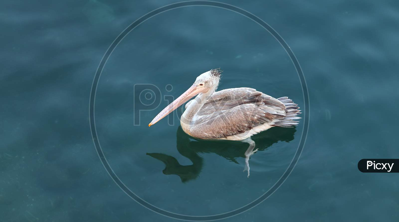 Brown Pelican Floating In A Clear Freshwater Lake