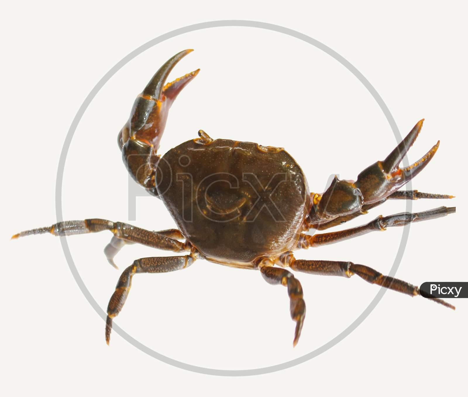 Freshwater crab isolated on white background
