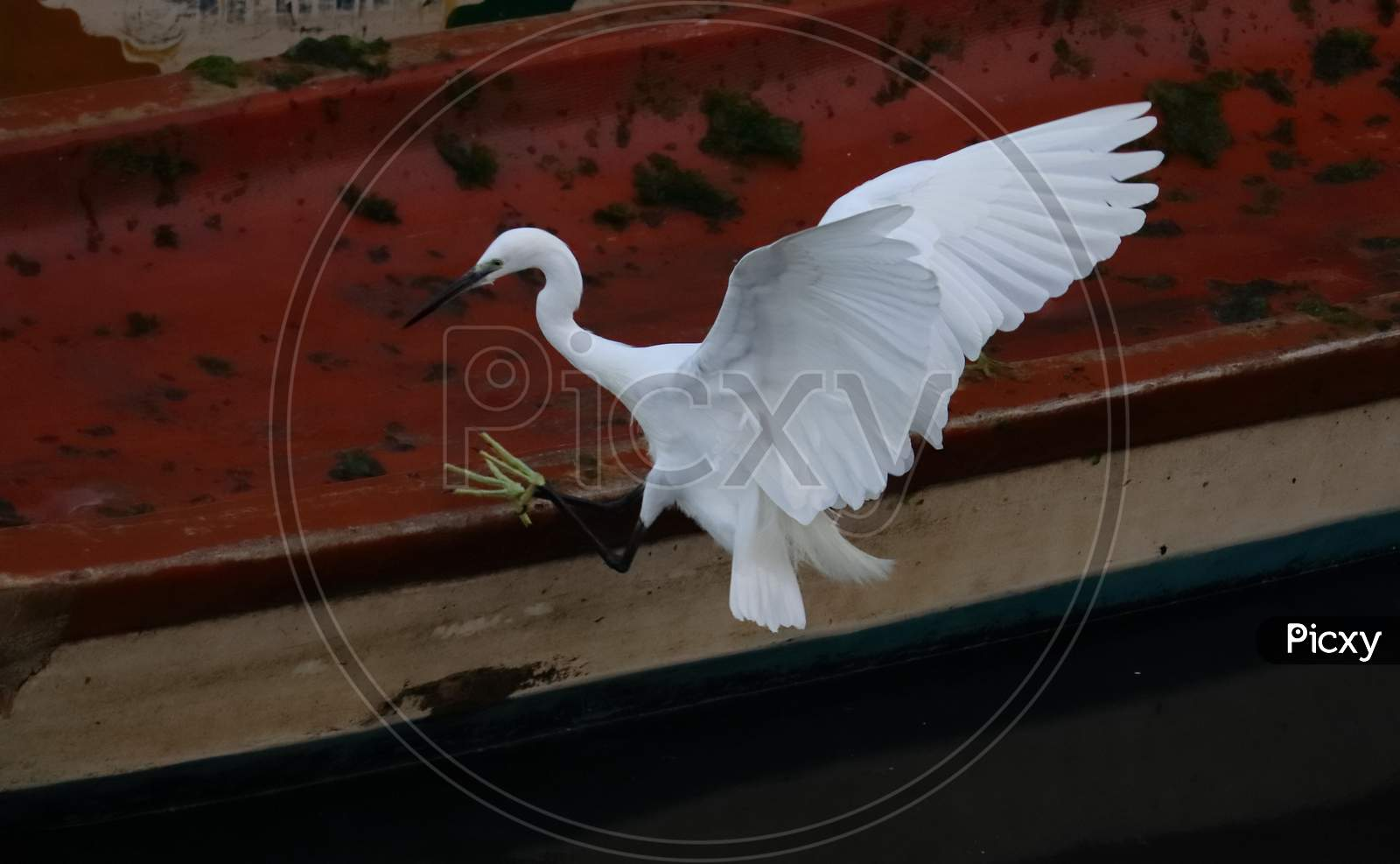 A White Little Egret Landing On A Wooden Boat