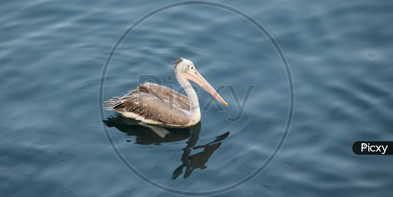 Side View Of Brown Pelican Floating In A Clear Freshwater Lake