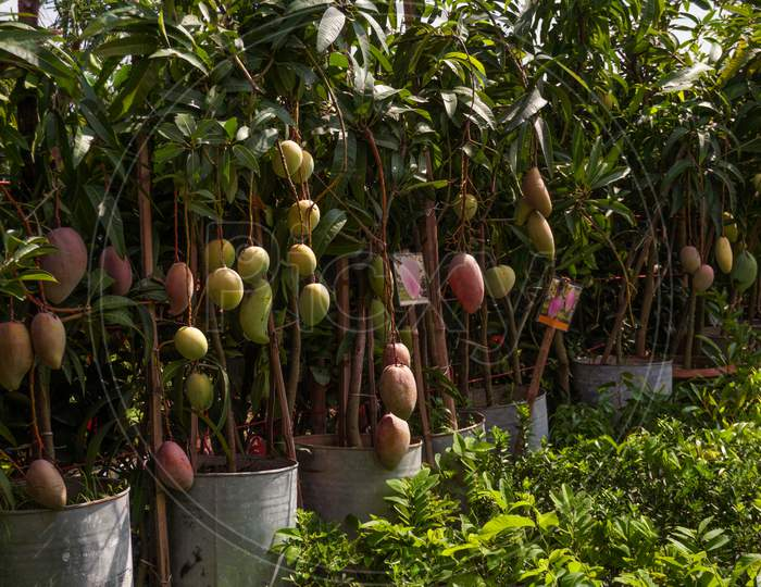 A Beautiful Mango Hanging On The Mango Tree. This Is A Delicious Fruit. Mango Is Very Dear To All The People Of The World.