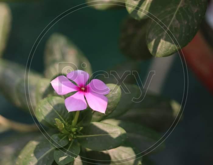 Light Pink Flower in Daylight