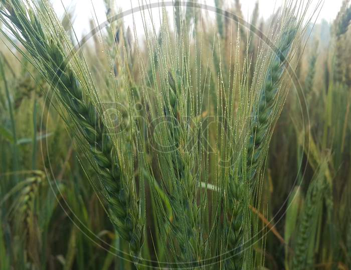 Closeup View Of Barley Spikelets Or Rye In Barley Field.