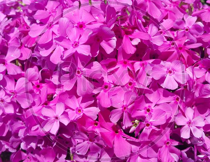 Close Up View Of Several Pink Flowers Under Sunlight With Pink Petals