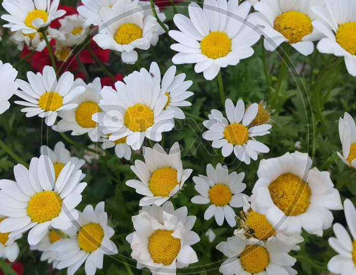 Close Up Of A Lovely Fresh White Flower With Green Leaves Background